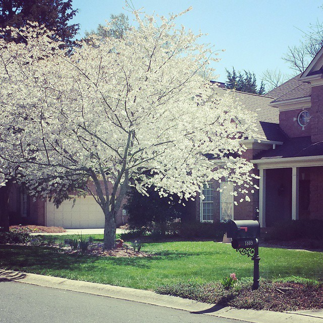 Charlotte sure is pretty in the spring! Trees and flowershellip